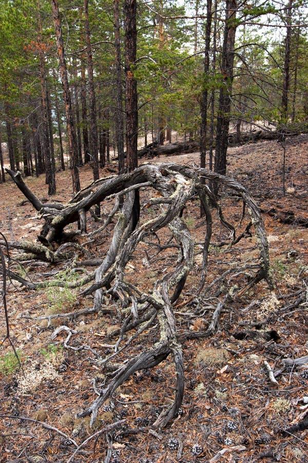 Det utsmyckade krökta trädet rotar Hinder i skogen fotografering för bildbyråer