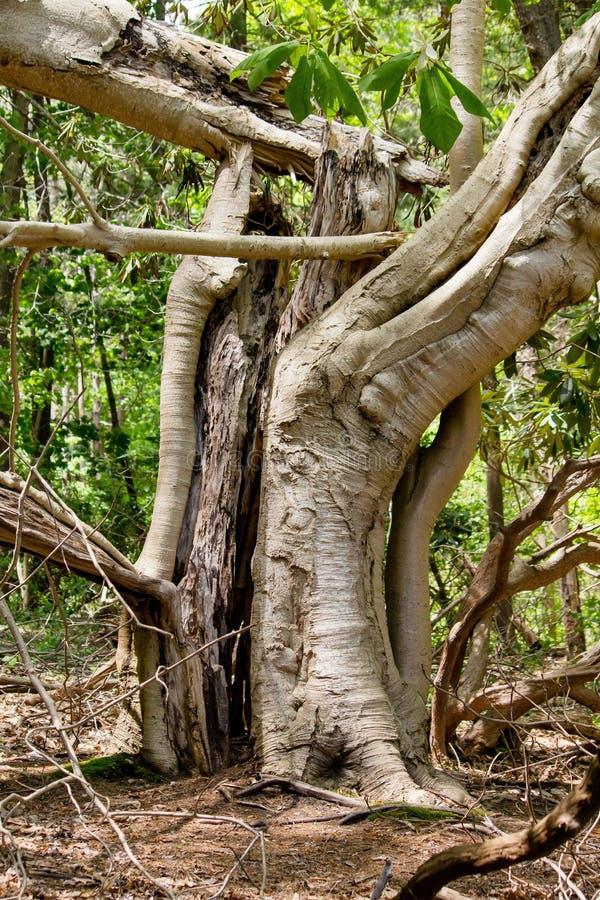 Det vertikala skottet av en gammal jätte bröt ett träd i skogen med naturlig bakgrund royaltyfri fotografi