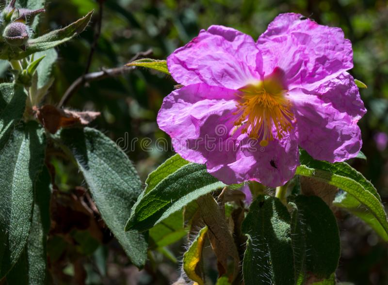 Det vetenskapliga namnet av denna växt är Cistussymphytifoliusen fotografering för bildbyråer