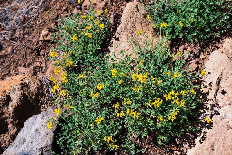 Det vetenskapliga namnet av denna växt är den Lotus campylocladusen arkivfoton