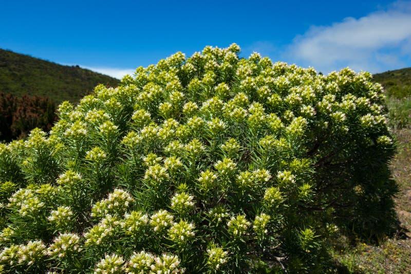 Det vetenskapliga namnet av denna växt är Echiumbrevirame arkivbild