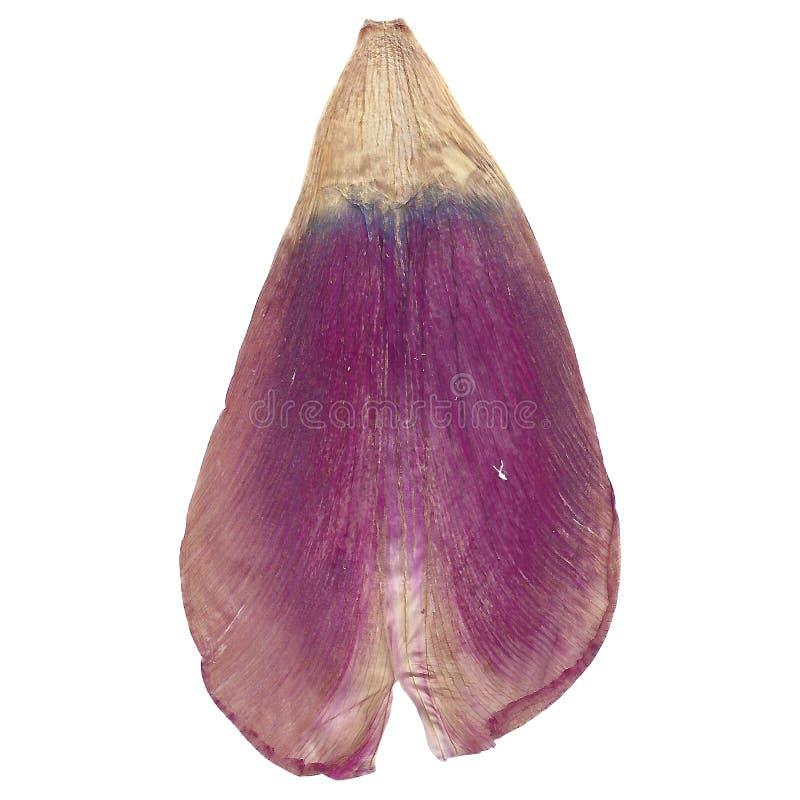 Det violetta purpurfärgade tulpanblommakronbladet klippte ut på en vit bakgrund arkivfoto