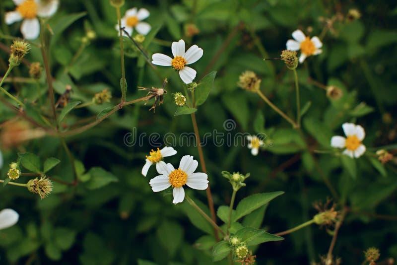 Det vita fältet blommar på den gröna bakgrunden royaltyfri bild