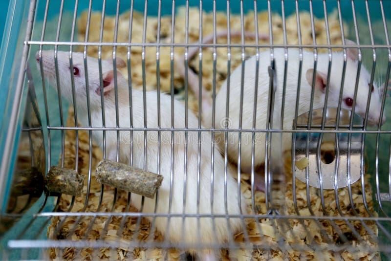 Det vita laboratoriumet (för albino) tjaller fotografering för bildbyråer