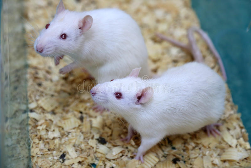 Det vita laboratoriumet (för albino) tjaller arkivbilder