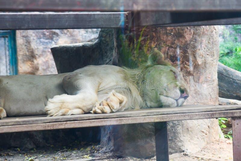 Det vita lejonet som sover på, vaggar i zoo på Thailand royaltyfria bilder