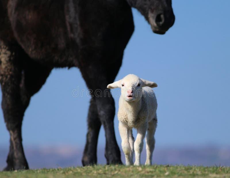 Det vita lilla lammet och den stora svarta hästen på betar arkivfoto