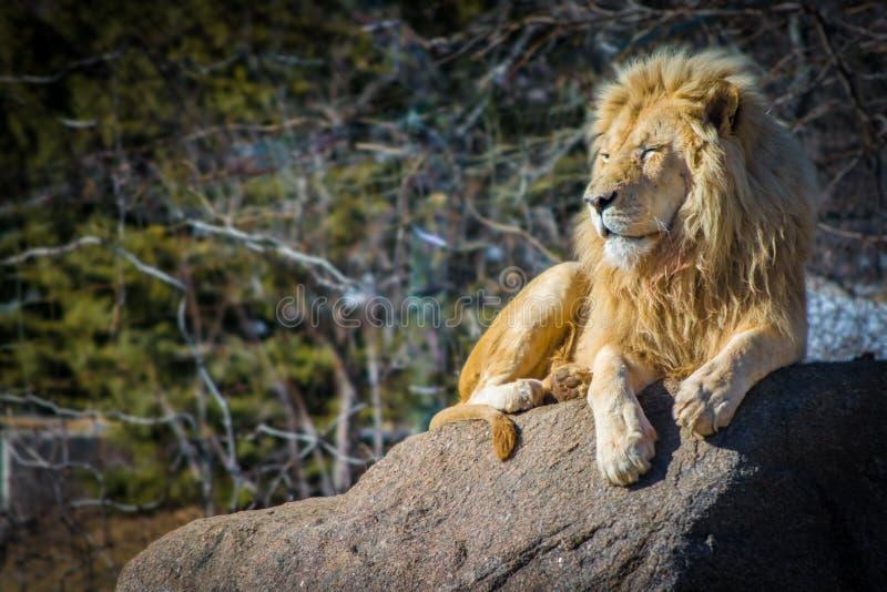 Det vita manliga lejonet som kopplar av på en varm dag vaggar på royaltyfri fotografi