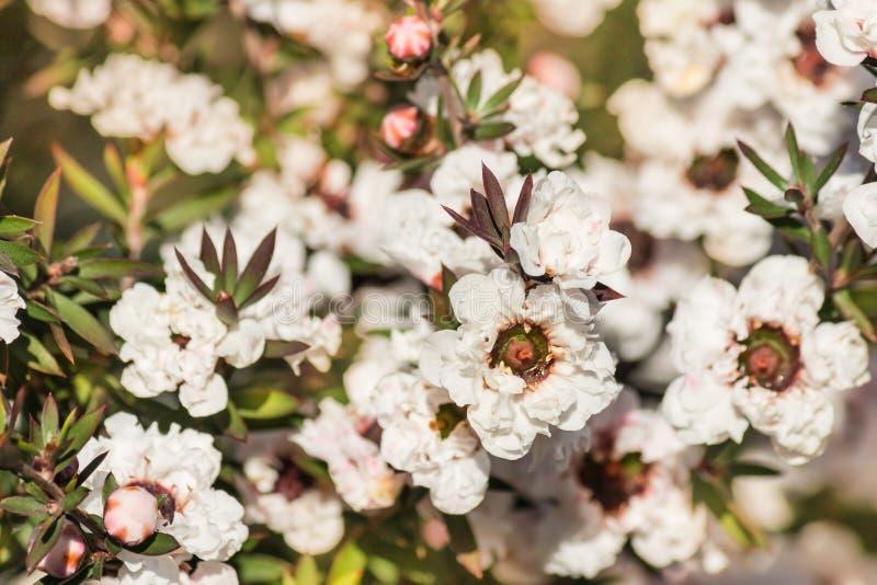 Det vita manukaträdet blommar i blom royaltyfria bilder