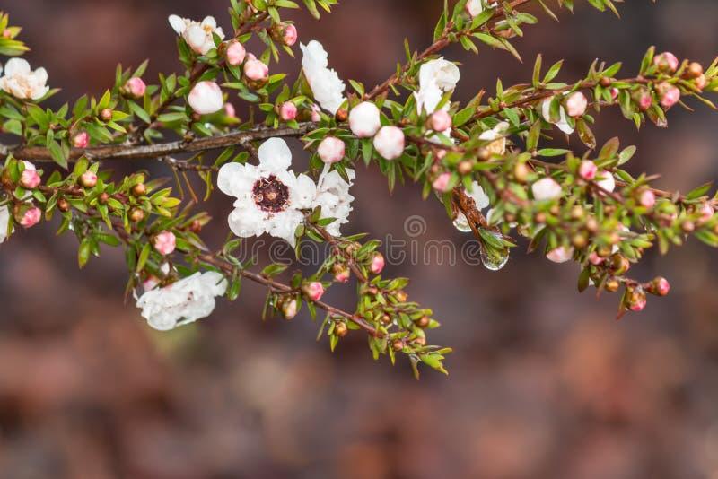 Det vita teträdet blommar och slår ut med regndroppar och suddig bakgrund royaltyfria foton