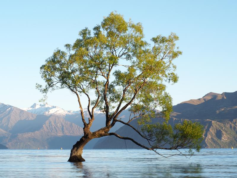 Det Wanaka träd arkivbilder