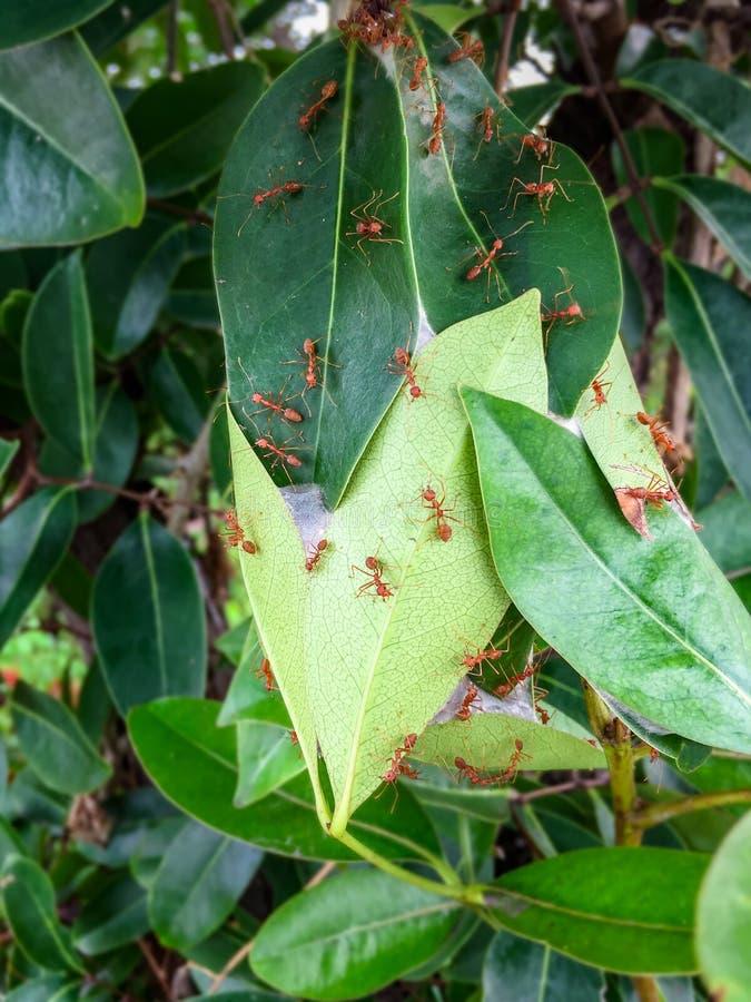 Det Weaver Ants redet gjordes det, genom att sammanfoga gröna sidor av ett träd tillsammans arkivfoton