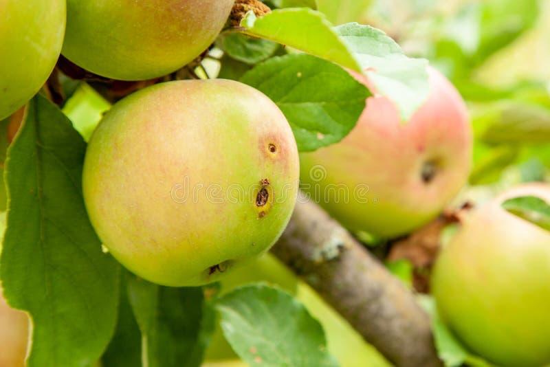Det Wormy äpplet växer på träd med gröna sidor arkivbild