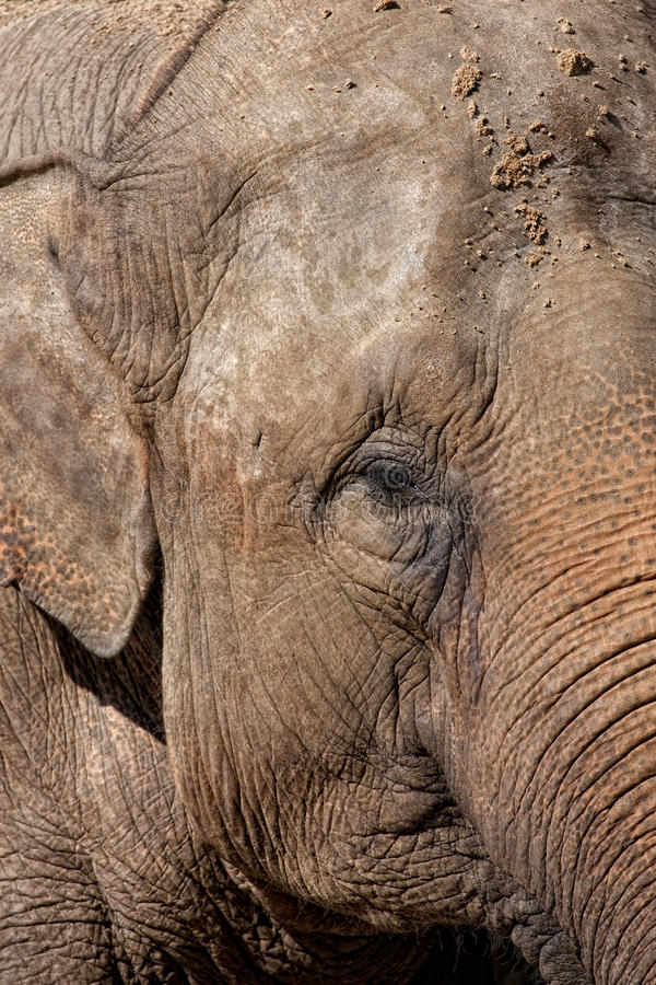 Download Detail Of An Asian Elephant Stock Photo - Image: 11125334