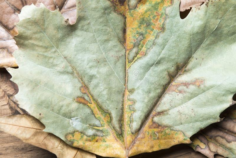 Detail of an autumn leaf. royalty free stock photo