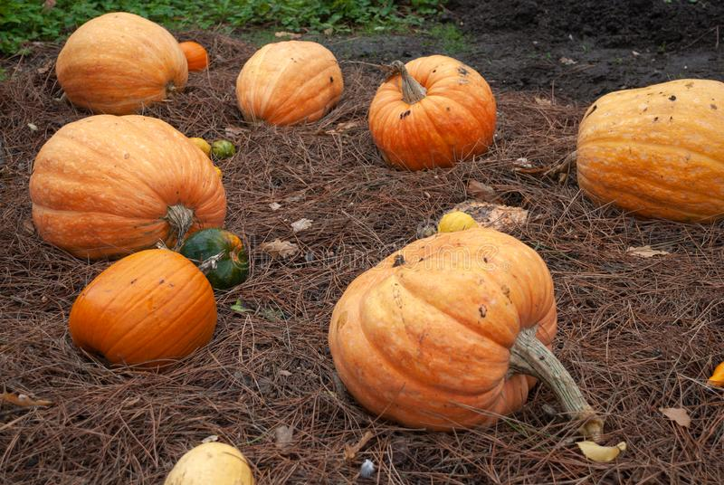 Detail of autumn pumpkins on the ground royalty free stock photos