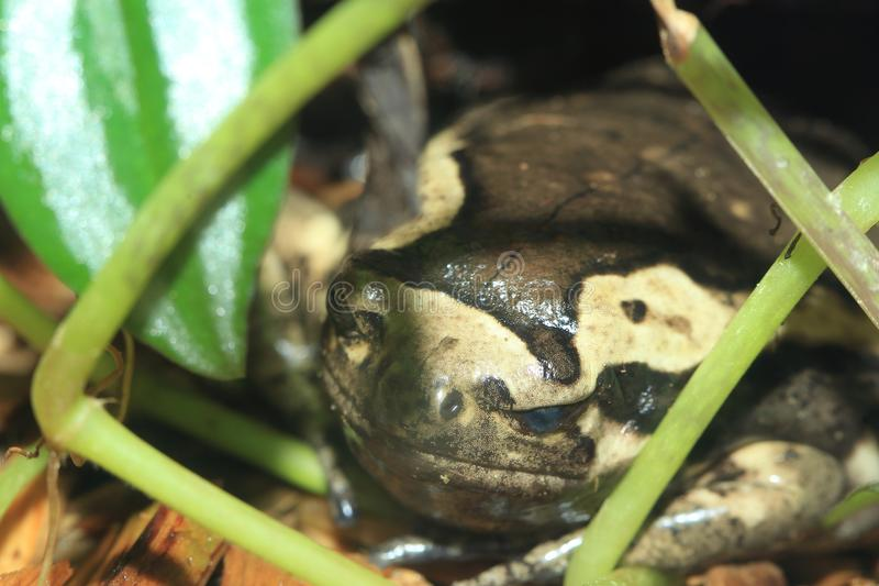 Banded bull frog stock photo