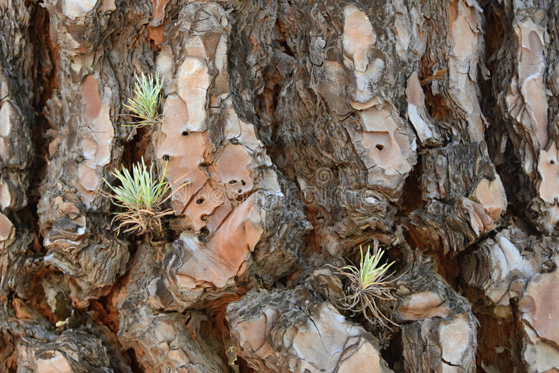 Detail of a Pine Tree Bark, Tenerife, Canary Islands, Spain, Europe royalty free stock photos