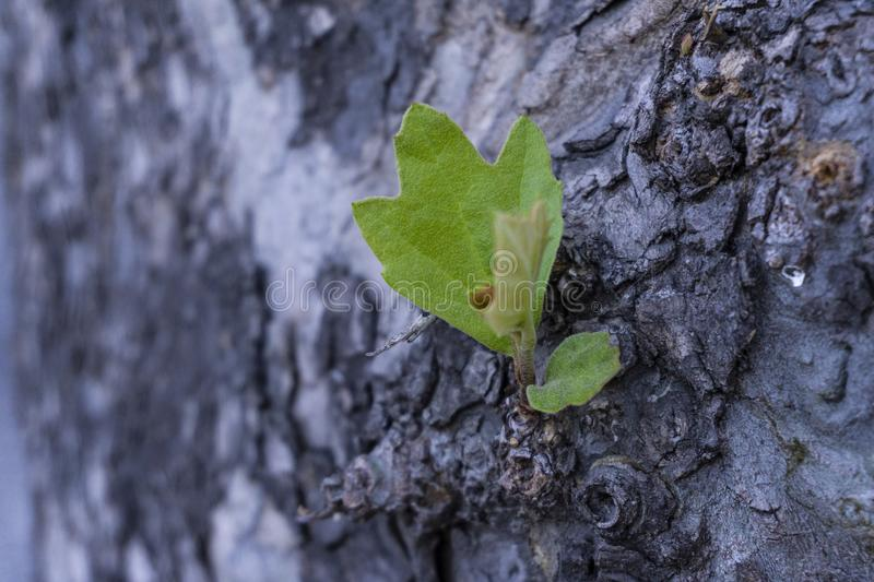 Detail on bark tree with blurred effect purple background detail royalty free stock photos