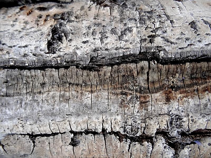 Detail of the bark of white birch - interesting wooden texture royalty free stock images