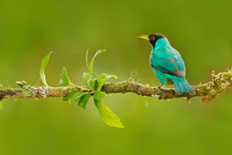 Detail of beautiful bird. Green Honeycreeper, Chlorophanes spiza, exotic tropic malachite green and blue bird form Costa Rica. Tan. Detail of beautiful bird stock images