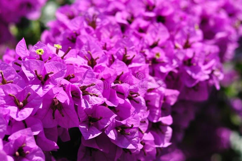 Detail of beautiful Bougainvillea flowers royalty free stock image