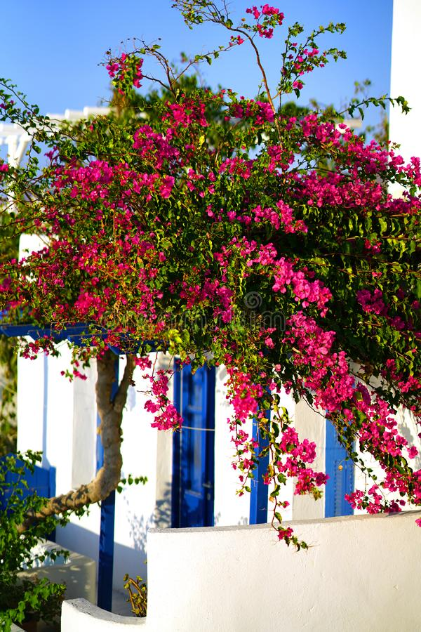 Detail of a beautiful bouganvillae in September in Parikia, on the island of Paros royalty free stock photo