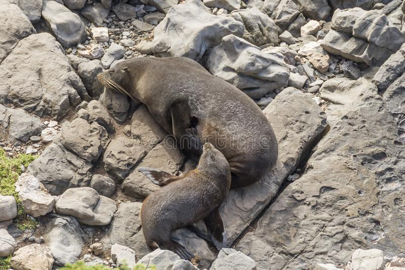 Detail of Beautiful colony of sea lions in the Flinders Chase National Park, Kangaroo Island, Southern Australia stock photo