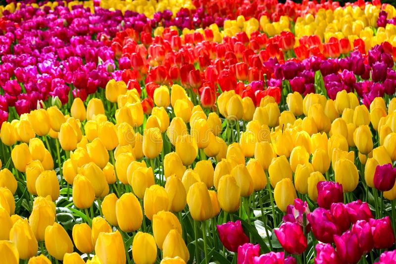 Detail of beautiful colorful tulips. The flowers have amazing yellow, red or pink colors. Bed of flowers. Spring concept. Holland royalty free stock photography
