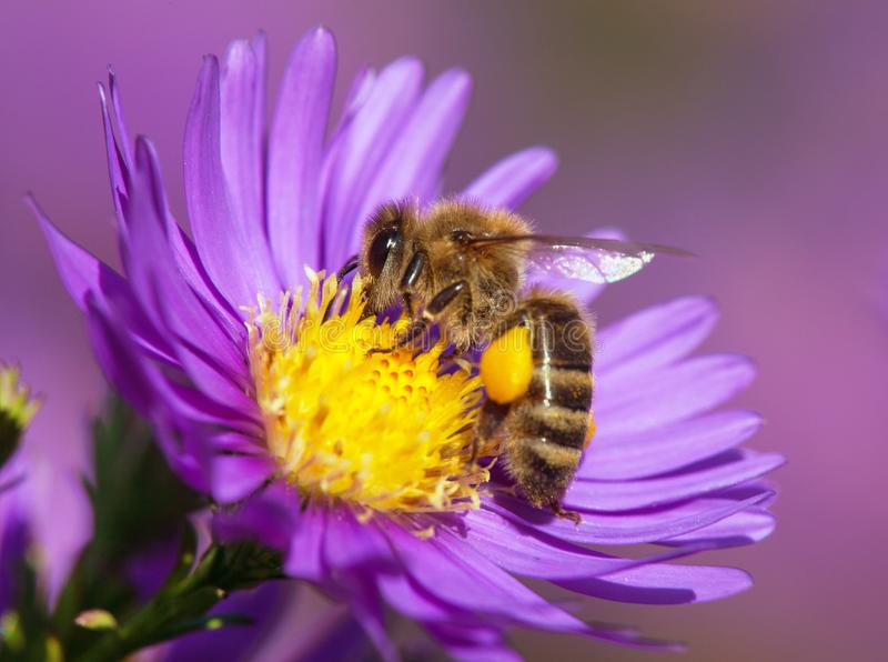 Detail bee or honeybee in Latin Apis Mellifera, european or western honey bee sitting on the yellow violet or blue flower stock photo