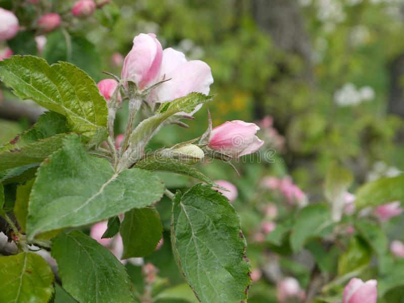 Detail from a bench from a apple tree blossom shortly flowering,Blurred, background. In the spring stock images