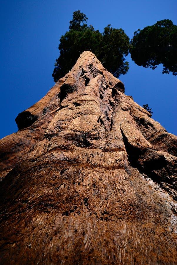 Detail of big tree sequoia cortex royalty free stock image