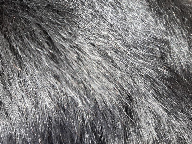 Detail of the black coat of the dog.  It is shiny and healthy.  The sun reflects on his hair royalty free stock photos