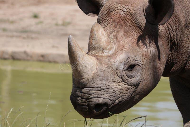 Detail of black rhinoceros. The Black Rhinoceros or Hook-lipped Rhinoceros (Diceros bicornis), also colloquially Black Rhino, is a species of rhinoceros, native stock image