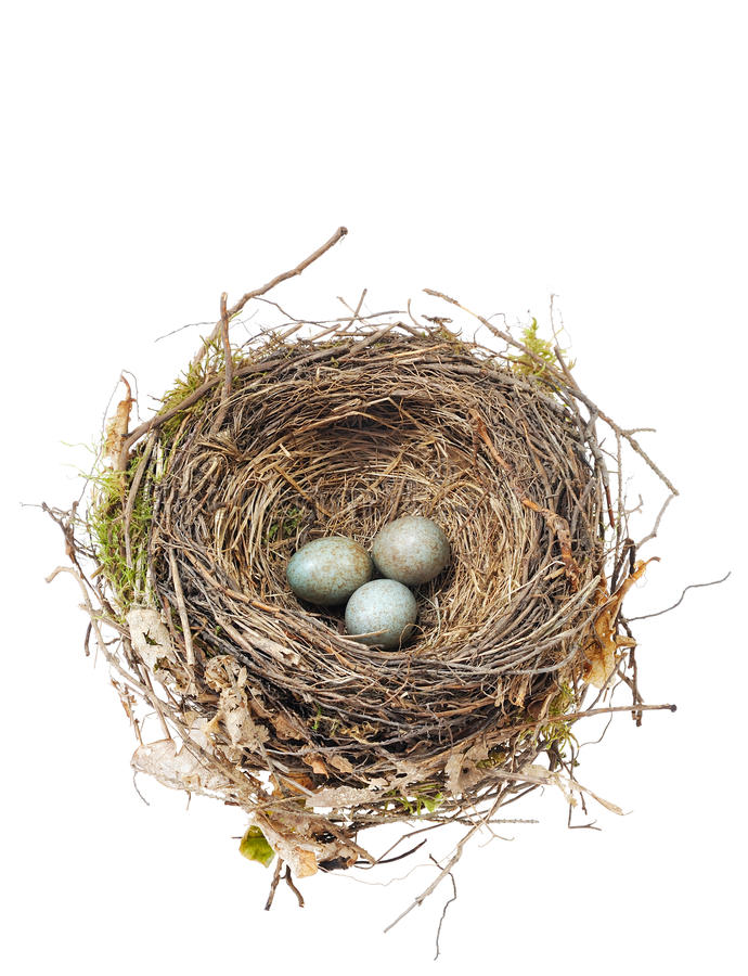 Detail of blackbird eggs in nest isolated on white stock photography