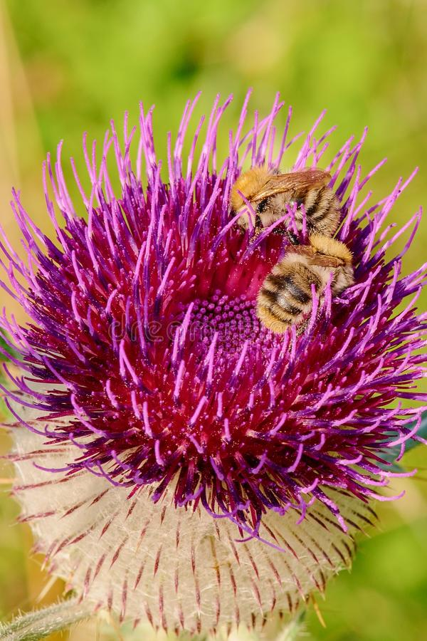 Bumblebees on violet flower of thistle - closeup. Detail of a blooming thistle with bumblebees . Isolated on a bright background. Taken with macro lens. Nature stock images