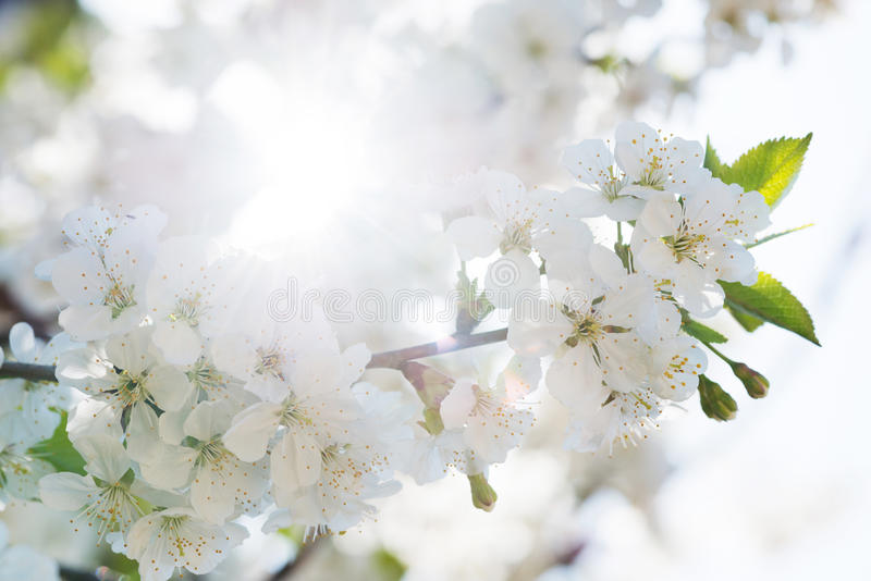 Detail of blossoming cherry flowers. Branch of a blossoming tree with beautiful white flowers with sun in background stock images