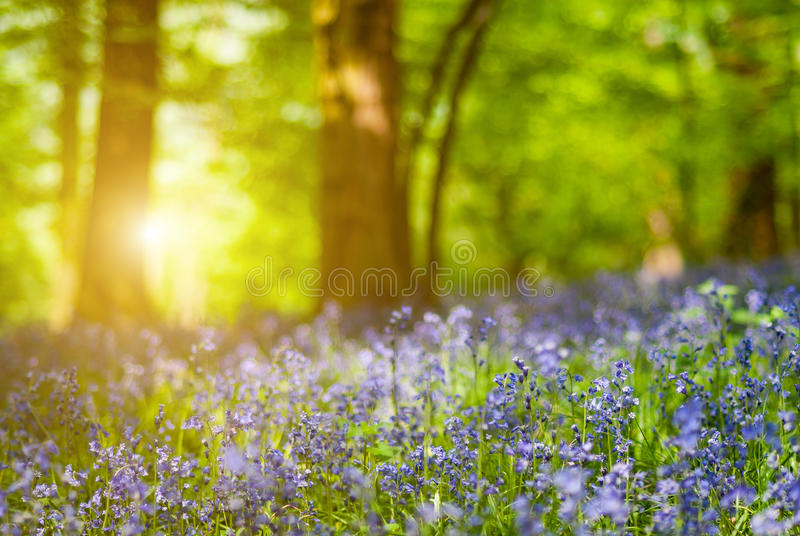Detail of bluebell flower forest. Photo with low depth of field stock images
