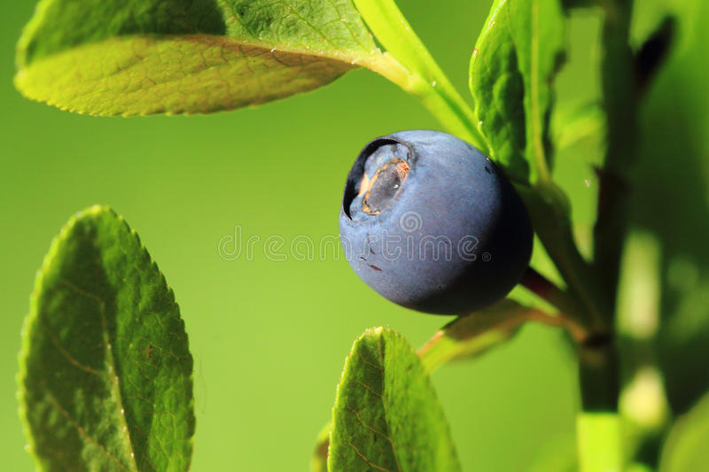 Detail blueberry plant stock photography