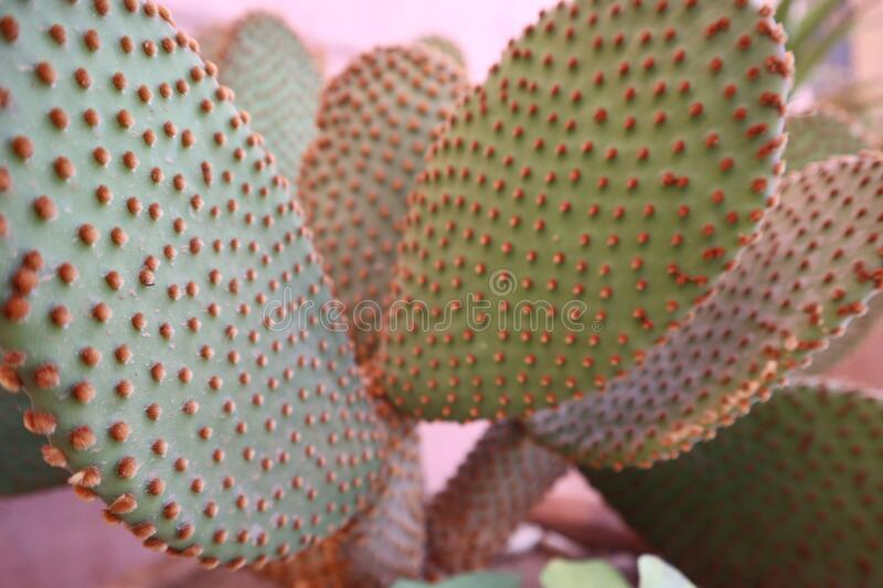 Detail of a cactus in the arid zone of Morocco royalty free stock photos