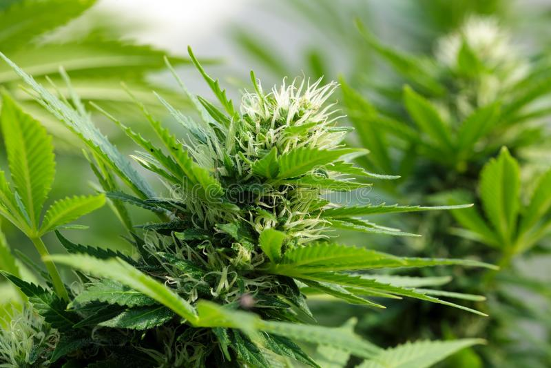 Detail of a Cannabis flowerhead stock photos