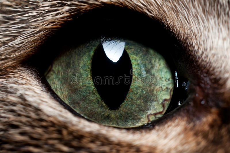 Download Detail of the cat. stock photo. Image of gray, features - 23323610