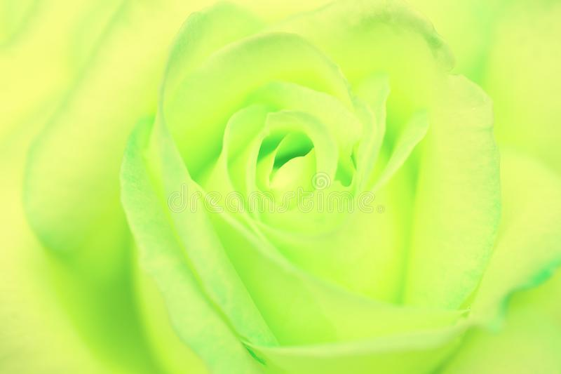 Detail of the center of a rare green and yellow rose royalty free stock photography