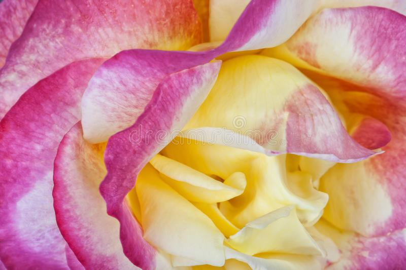 Detail of the center of a rose of pink and yellow colors.  royalty free stock image
