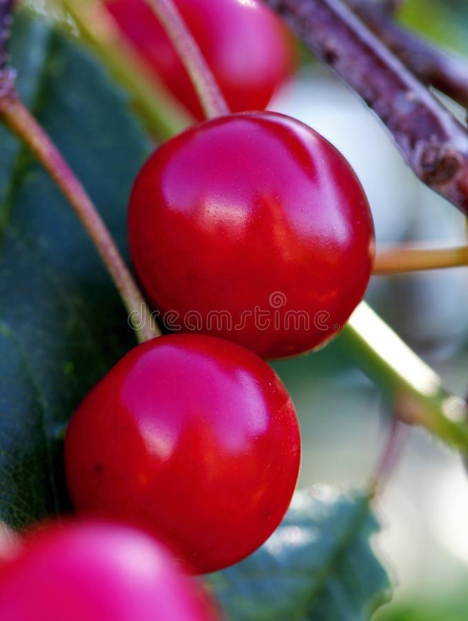 Download The detail of cherries stock image. Image of high, bush - 25366015