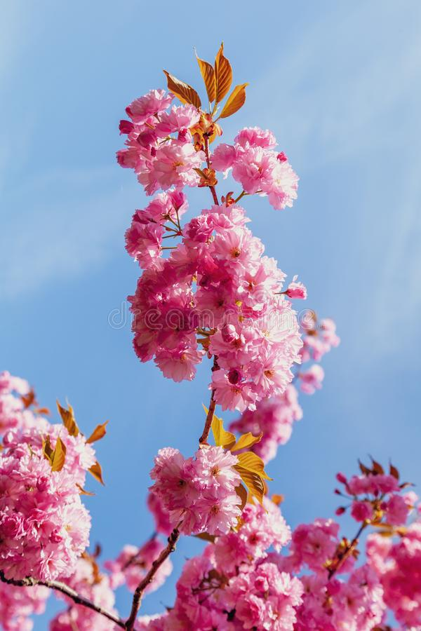 Detail of cherry blossom in early spring. Branch of cherry blossom in full bloom with leaves in early spring stock photo