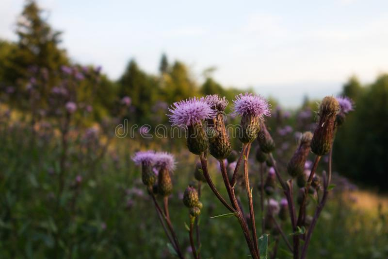 Detail of Cirsium arvense field thistle in a field during a summer sunset. In Czech republic, Europe royalty free stock photography