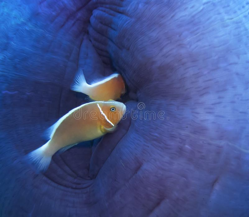 Detail Close up Bright Orange Tropical Anemonefish with Purple Anemone royalty free stock photography