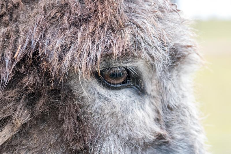 Detail/close-up van het oog van een ezel stock foto