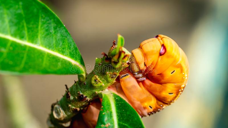 Detail closeup of orange caterpillar eating the leaves royalty free stock photography
